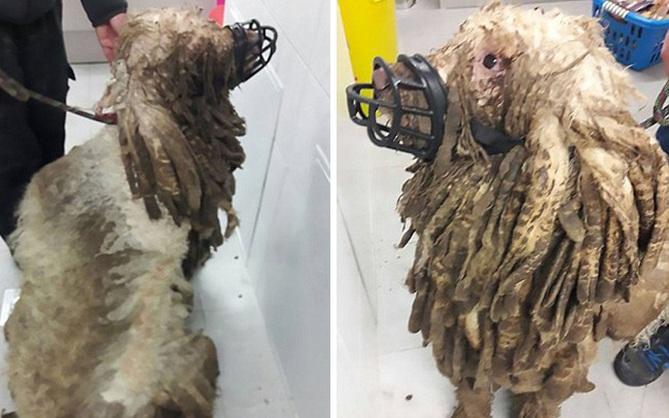 Chú chó hóa thành chiếc giẻ lau nhà do lâu ngày không được tắm