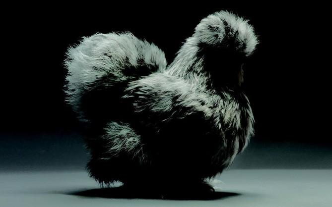 Chiêm ngưỡng vẻ đẹp siêu cấp của những loài gà khắp nơi trên thế giới