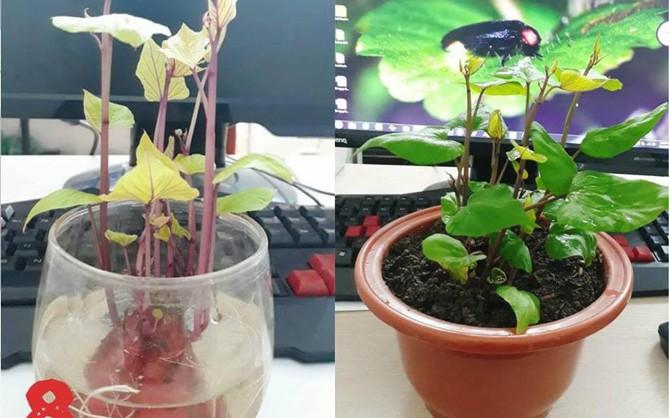 Hành trình trở thành hoa khôi văn phòng bất đắc dĩ của một củ khoai lang