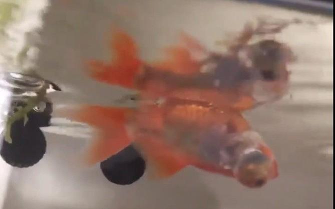 Clip: Chú cá vàng chỉ thích bơi ngửa suốt nhiều tháng mà vẫn sống bình thường khiến chủ nhân hoang mang