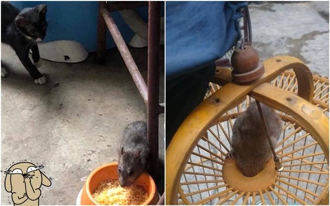 Hai chú chuột nổi tiếng nhất MXH hôm nay: Một đầu gấu cướp cả cơm mèo, một đen đủi kẹt đầu vào lồng chim