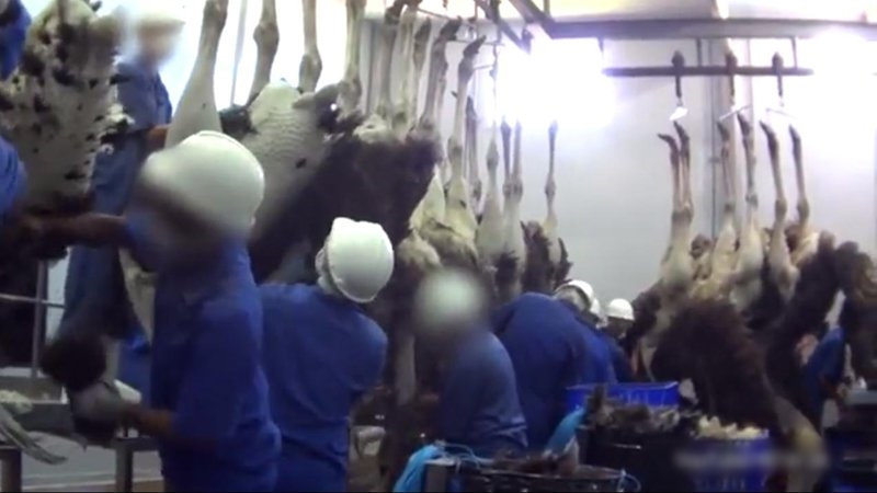 Video: Những hình ảnh ghê rợn về quá trình lột da đà điểu làm túi hàng hiệu - Ảnh 6.
