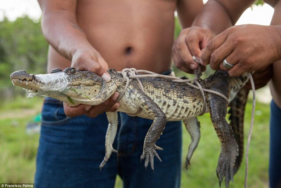 Đằng sau những đôi giày da thời thượng là cả một quá trình lột da cá sấu sống rùng rợn - Ảnh 1.