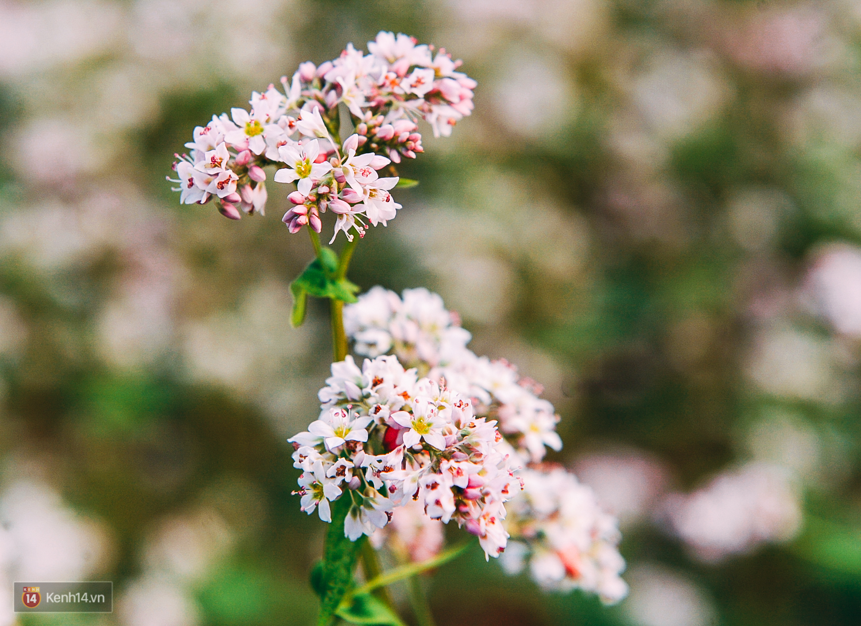Ngắm mùa hoa tam giác mạch đẹp mê mải về ở Hà Giang - Ảnh 3.