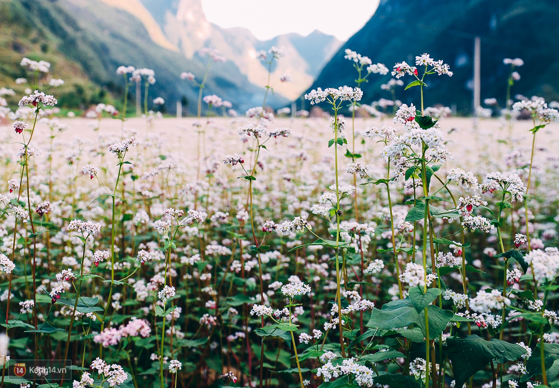 Hình ảnh hoa tam giác mạch tuyệt đẹp không thể bỏ qua