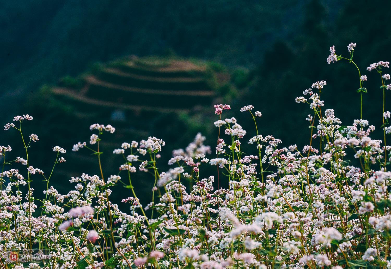 Ngắm mùa hoa tam giác mạch đẹp mê mải về ở Hà Giang - Ảnh 6.