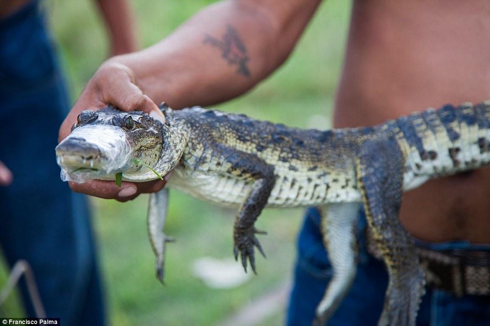 Đằng sau những đôi giày da thời thượng là cả một quá trình lột da cá sấu sống rùng rợn - Ảnh 9.