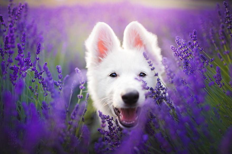 Cuộc dạo chơi giữa cánh đồng oải hương mộng mơ của những em chó mặt xinh - Ảnh 11.