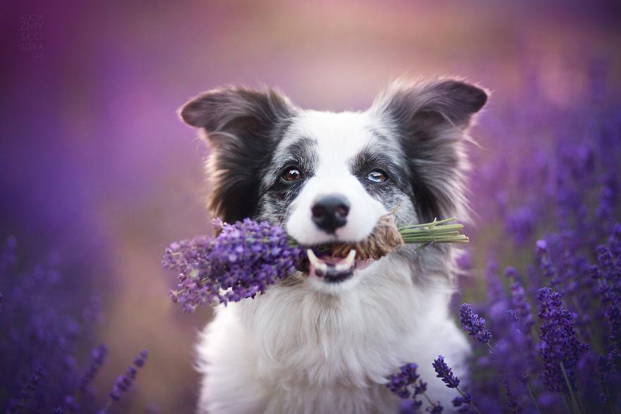 Cuộc dạo chơi giữa cánh đồng oải hương mộng mơ của những em chó mặt xinh - Ảnh 15.
