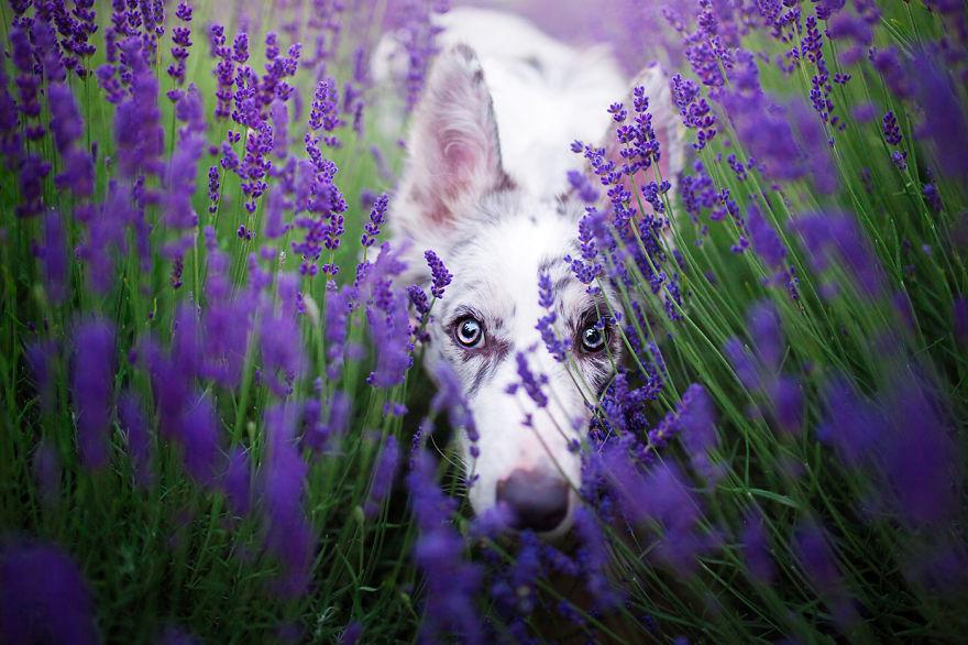 Cuộc dạo chơi giữa cánh đồng oải hương mộng mơ của những em chó mặt xinh - Ảnh 17.
