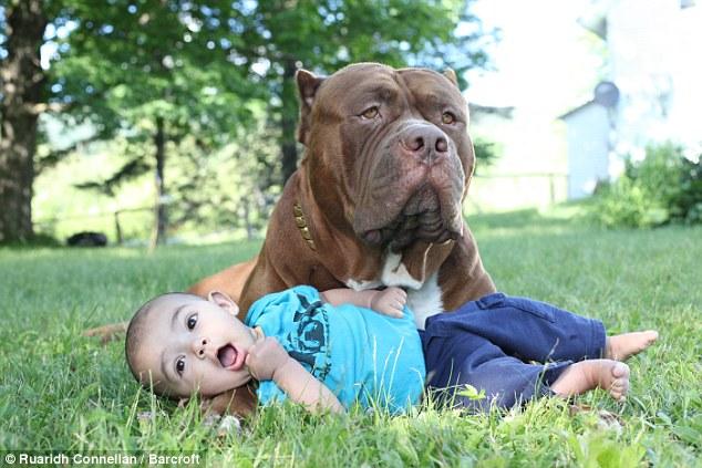 Trái với vẻ dữ dằn, chú chó pitbull khổng lồ nặng 76kg lại
