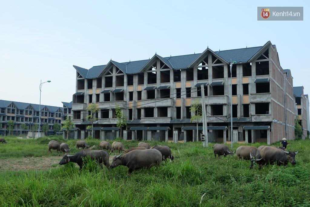 Biệt thự tiền tỷ biến thành nơi nuôi nhốt, chăn thả trâu bò ở Hà Nội - Ảnh 10.