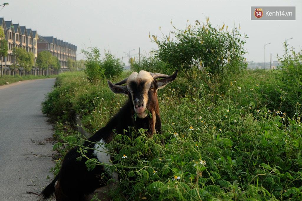Biệt thự tiền tỷ biến thành nơi nuôi nhốt, chăn thả trâu bò ở Hà Nội - Ảnh 15.
