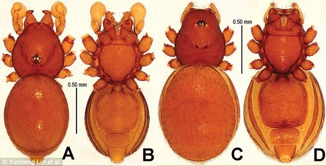 Có một loài nhện bất khả chiến bại tồn tại từ thời tiền sử đến tận bây giờ - Ảnh 3.