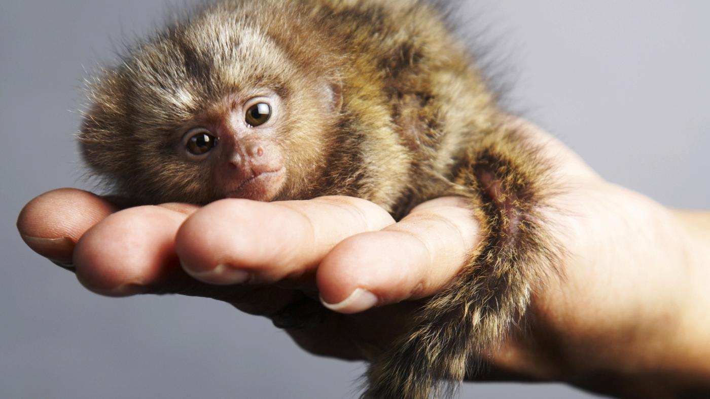 8 sự thiệt ít ai biết về loài khỉ - sinh vật nhí nhố nhất hành tinh - Ảnh 10.
