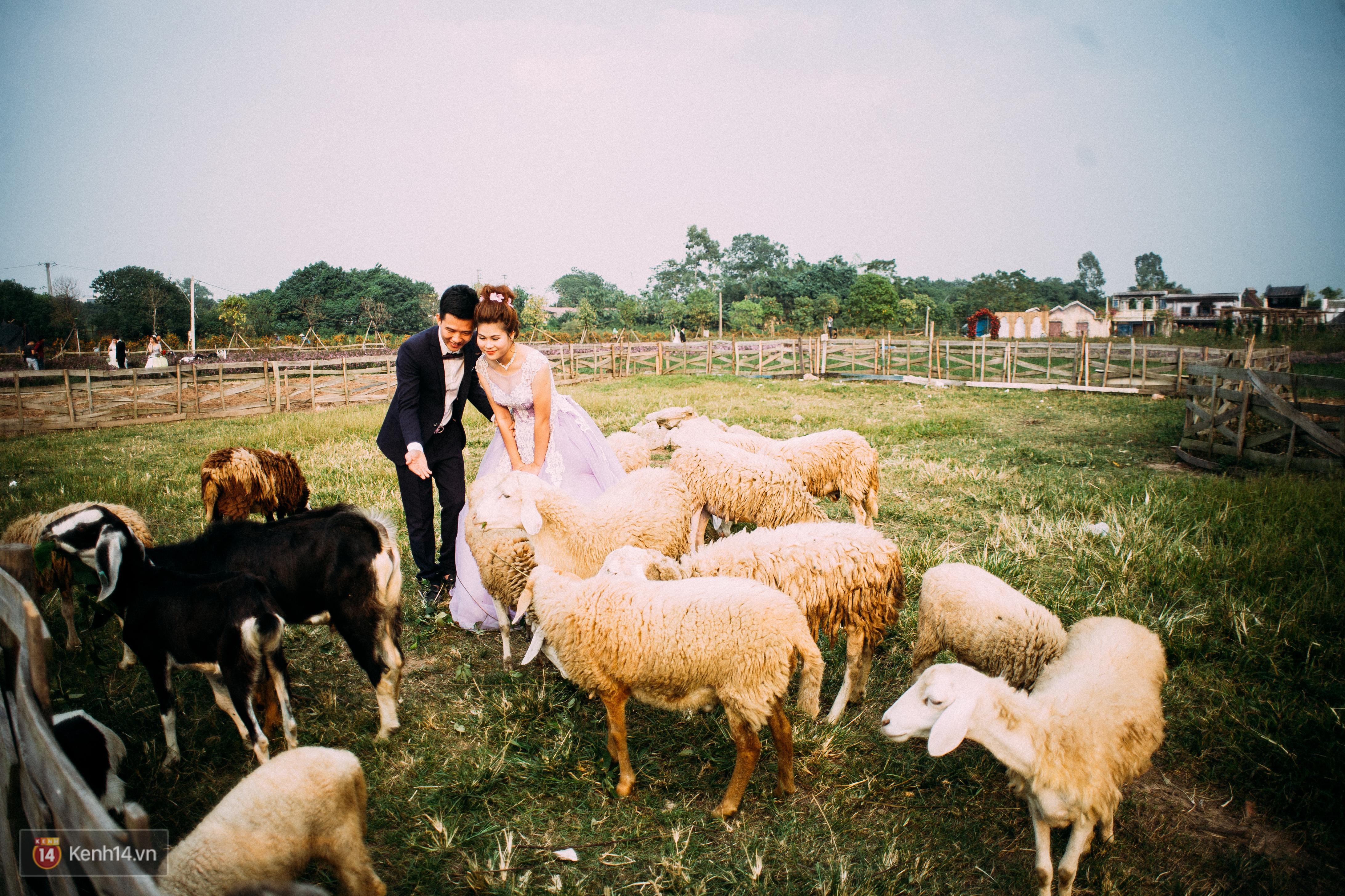 Một cánh đồng hoa bao la với bầy cừu xinh xắn, ở Hà Nội cũng