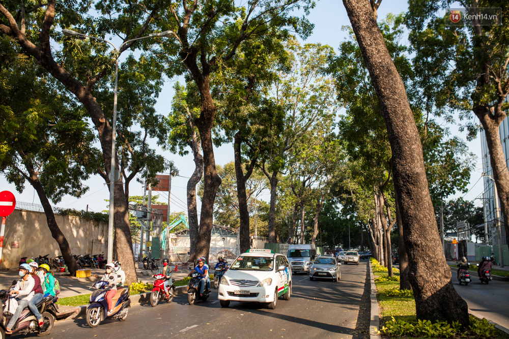 TPHCM: Ngắm nhìn hàng cây xanh trên đường Tôn Đức Thắng trước khi 300 cây sẽ bị chặt hạ - Ảnh 3.