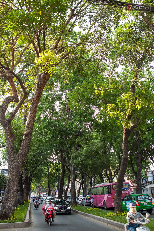 TPHCM: Ngắm nhìn hàng cây xanh trên đường Tôn Đức Thắng trước khi 300 cây sẽ bị chặt hạ - Ảnh 7.