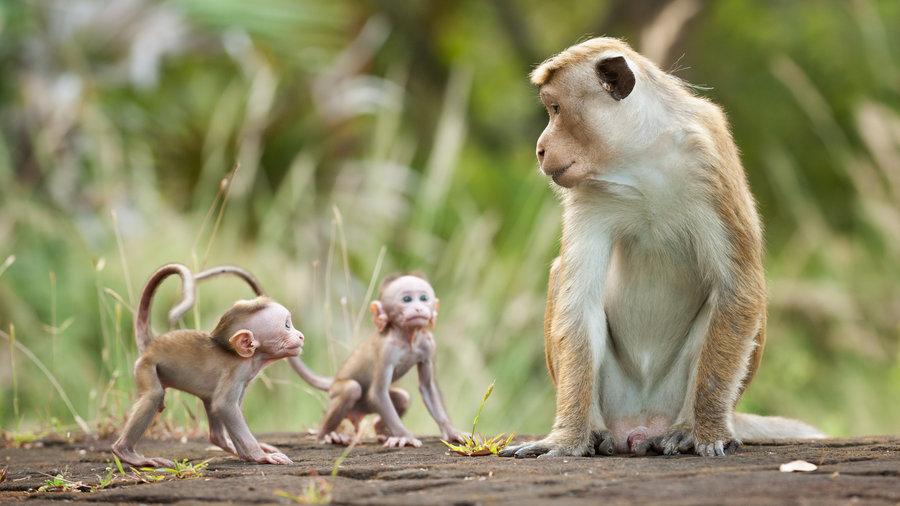 8 sự thiệt ít ai biết về loài khỉ - sinh vật nhí nhố nhất hành tinh - Ảnh 2.