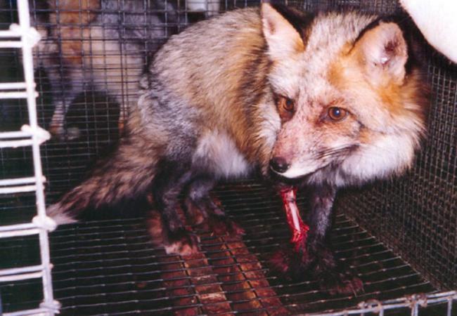 Sự thật tàn ác trần trụi trong các lò nuôi của ngành công nghiệp lông thú - Ảnh 4.