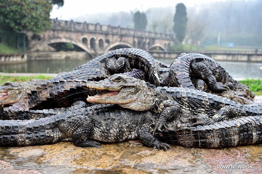 Trung Quốc: Hơn 13.000 nhóc tì cá sấu đang ngủ đông thì bị bắt đi tắm nắng - Ảnh 1.