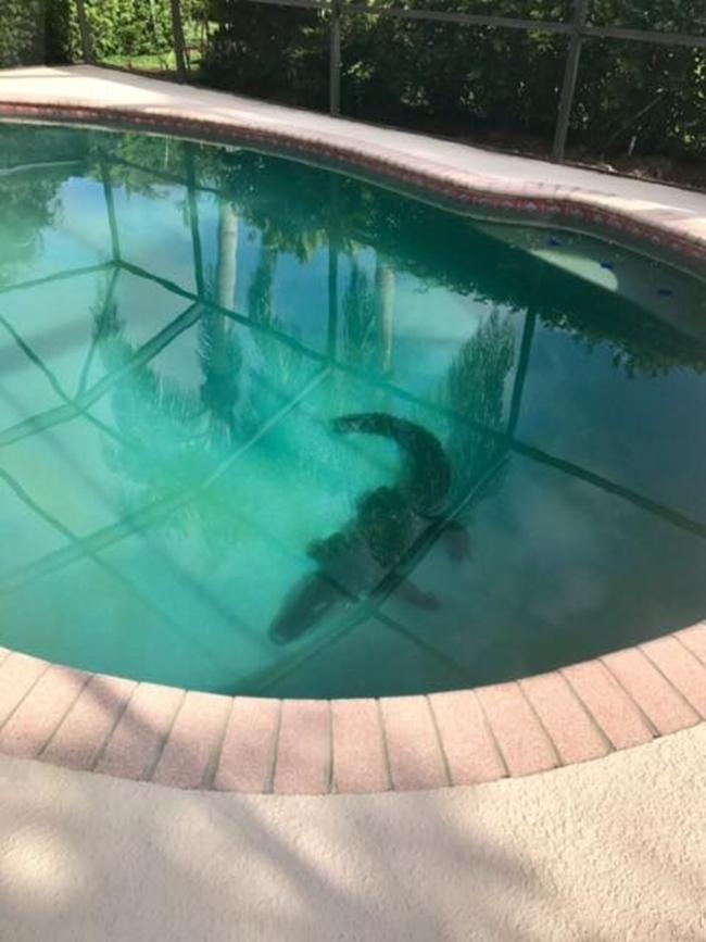 Gia đình hoảng hồn khi phát hiện cá sấu dài hơn 2m nằm chình ình giữa bể bơi - Ảnh 3.