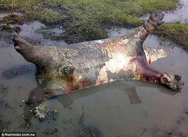 Hơn 100 con hà mã đồng loạt rủ nhau chết ngã ngửa trên đầm lầy, nguyên nhân vẫn chưa rõ - Ảnh 2.