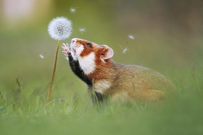 Cuộc sống hưởng thụ của 15 chú chuột hamster sống ở ngoài thế giới tự nhiên - Ảnh 1.