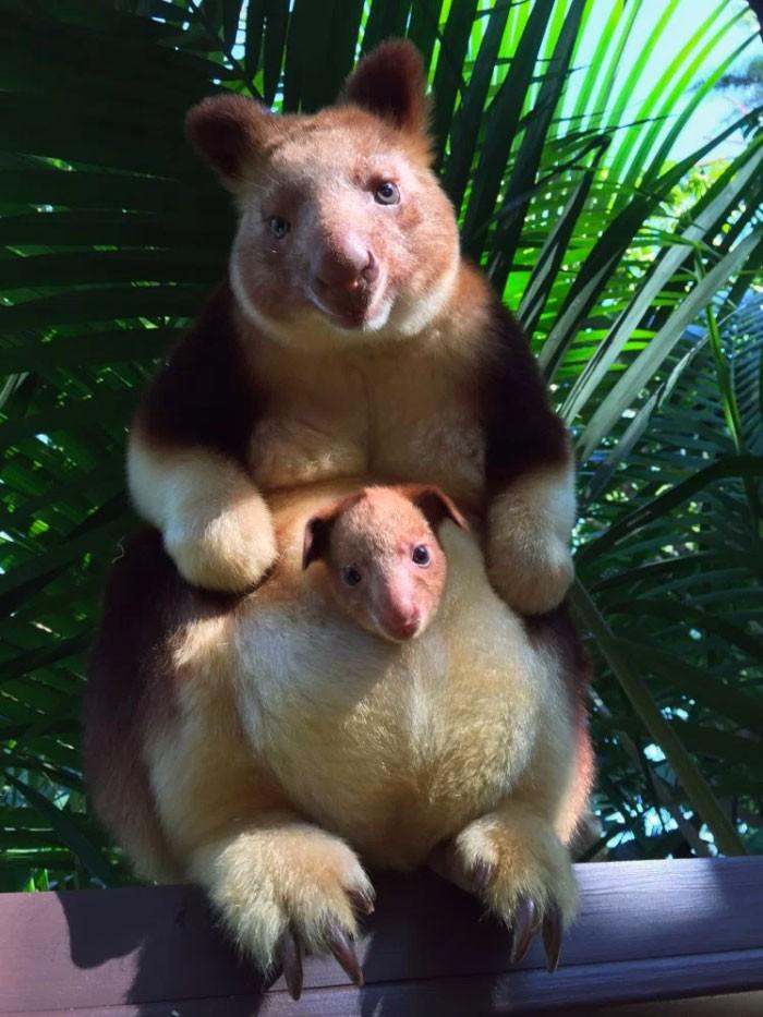 Hóa ra Úc còn có loài chuột túi ôm cây đáng yêu dã man - Ảnh 1.