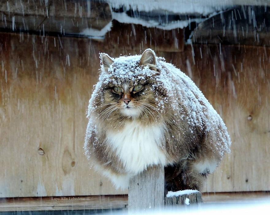 Đàn mèo Siberia xâm chiếm khu vườn của người nông dân, thế nhưng ý đồ của chúng vô tình trở thành việc tốt - Ảnh 1.
