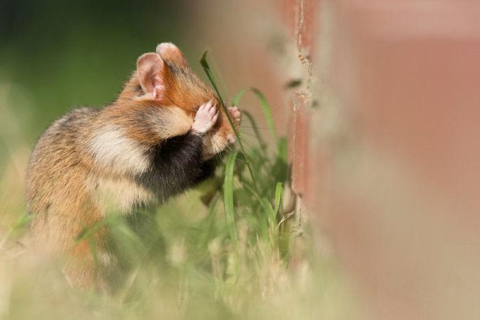 Cuộc sống hưởng thụ của 15 chú chuột hamster sống ở ngoài thế giới tự nhiên - Ảnh 3.