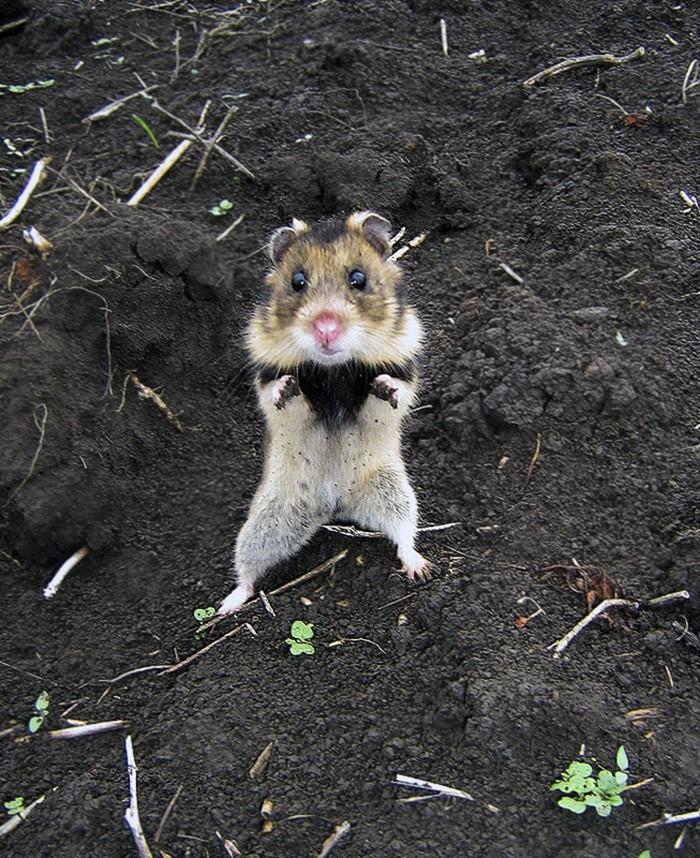 Cuộc sống hưởng thụ của 15 chú chuột hamster sống ở ngoài thế giới tự nhiên - Ảnh 7.