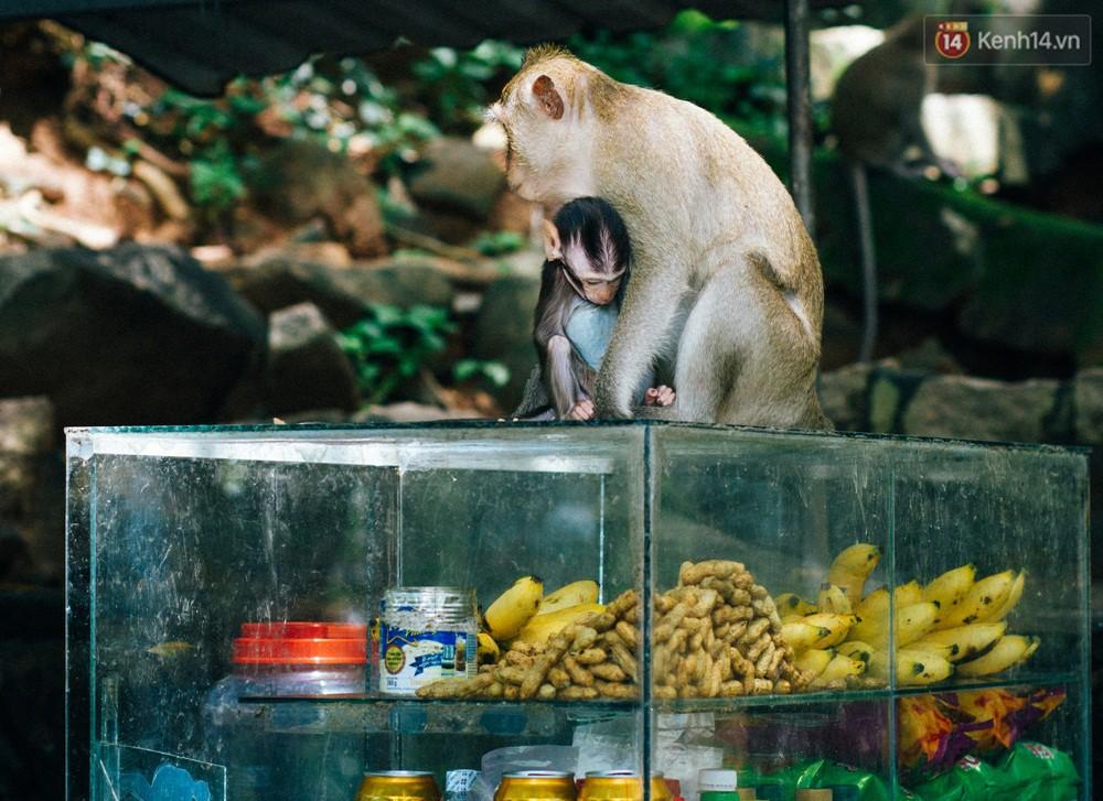 Chùm ảnh: Chuyện về đàn khỉ đuôi dài nương náu trong ngôi chùa ở Vũng Tàu, sống nhờ thức ăn của du khách - Ảnh 9.