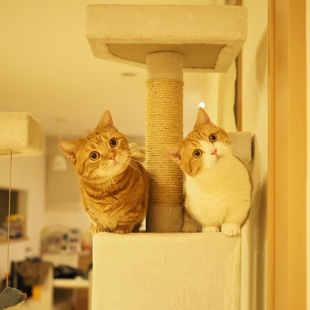 Cả thế giới ra mà xem cặp mèo chân ngắn một mẩu đốn tim cư dân