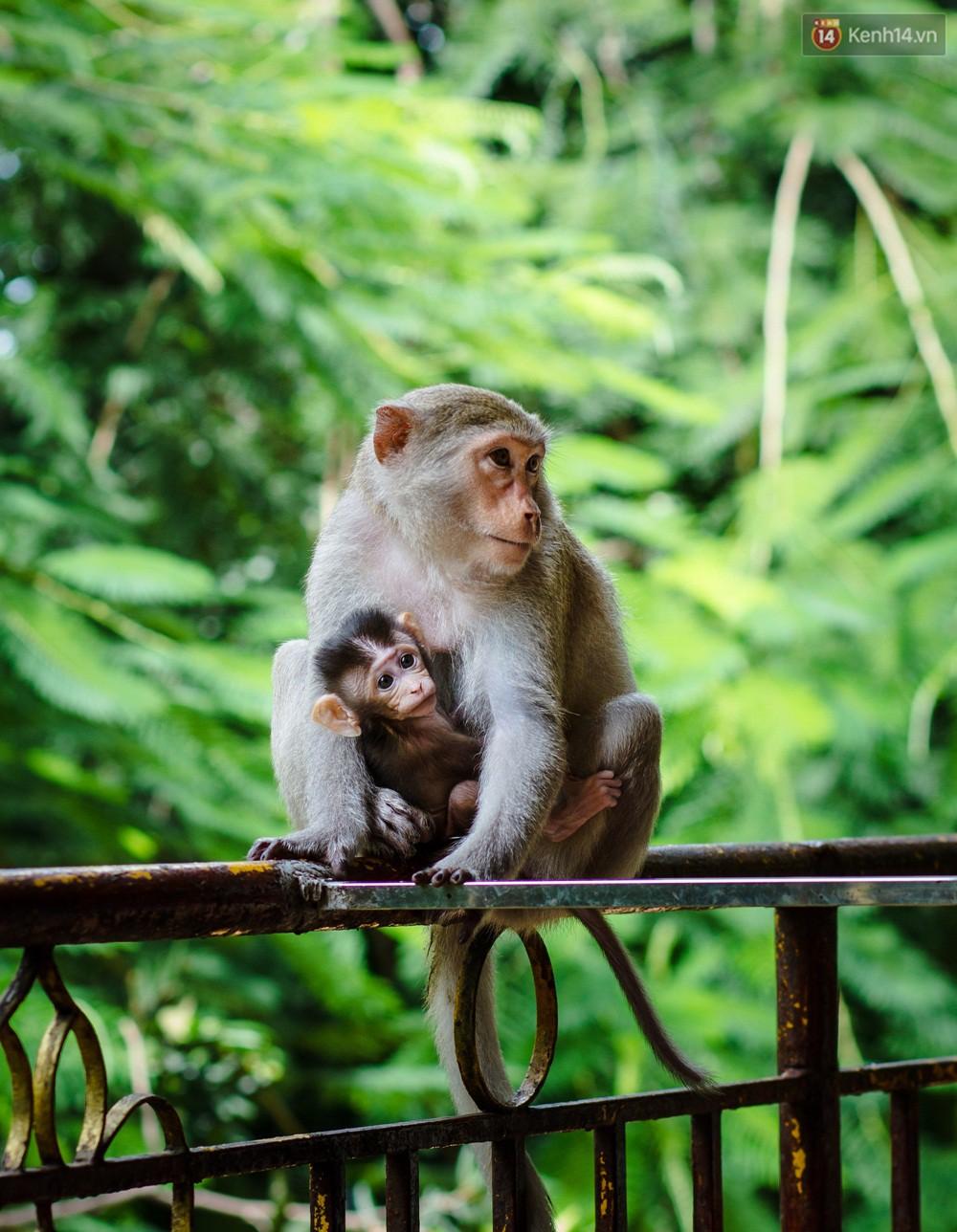 Chùm ảnh: Chuyện về đàn khỉ đuôi dài nương náu trong ngôi chùa ở Vũng Tàu, sống nhờ thức ăn của du khách - Ảnh 1.