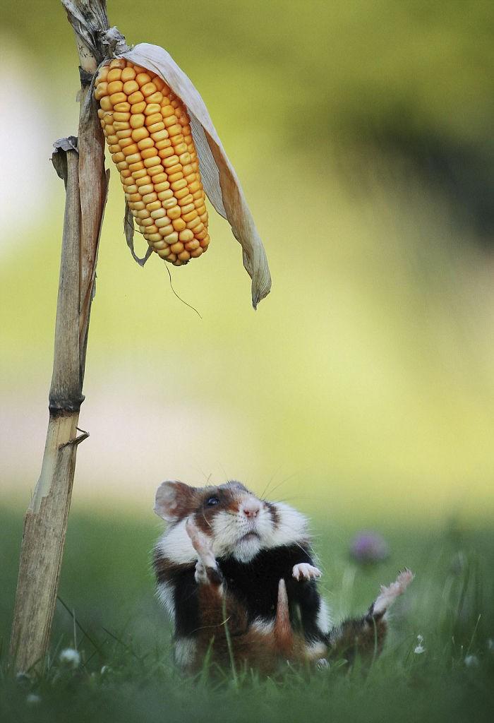 Cuộc sống hưởng thụ của 15 chú chuột hamster sống ở ngoài thế giới tự nhiên - Ảnh 13.