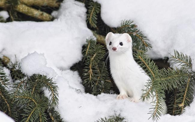 Loài chồn tuyết sang chảnh lông trắng, mặt xinh, chung tình và gợi cảm - Ảnh 3.
