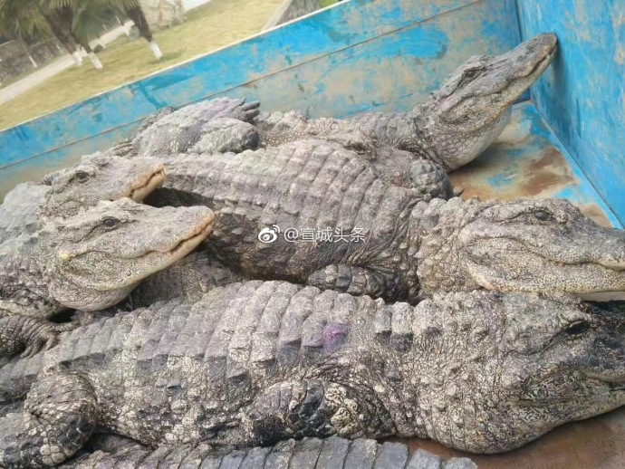 Trung Quốc: Hơn 13.000 nhóc tì cá sấu đang ngủ đông thì bị bắt đi tắm nắng - Ảnh 5.