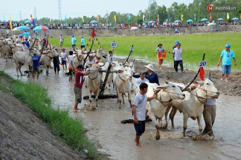 Chùm ảnh: Những pha té ngã không thương tiếc trên đường đua bò vùng Bảy Núi - Ảnh 2.