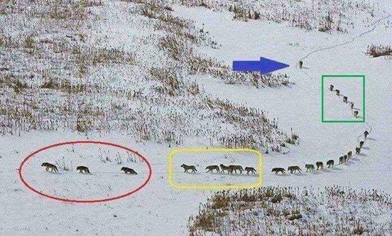 Sự thật đằng sau bức ảnh đàn sói đầy nhân văn đang gây bão cộng đồng mạng - Ảnh 1.