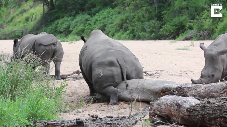Không biết tê giác bị ngứa mông sẽ gãi kiểu gì thì hãy nhìn đây - Ảnh 3.