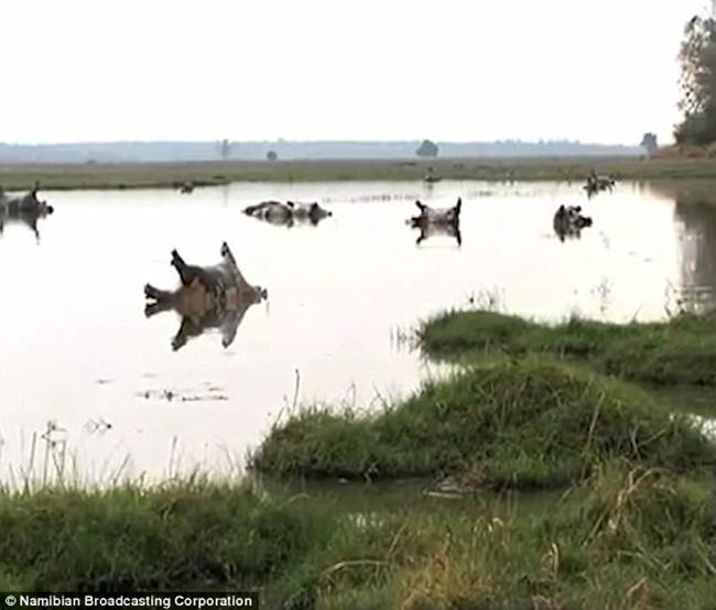 Hơn 100 con hà mã đồng loạt rủ nhau chết ngã ngửa trên đầm lầy, nguyên nhân vẫn chưa rõ - Ảnh 3.