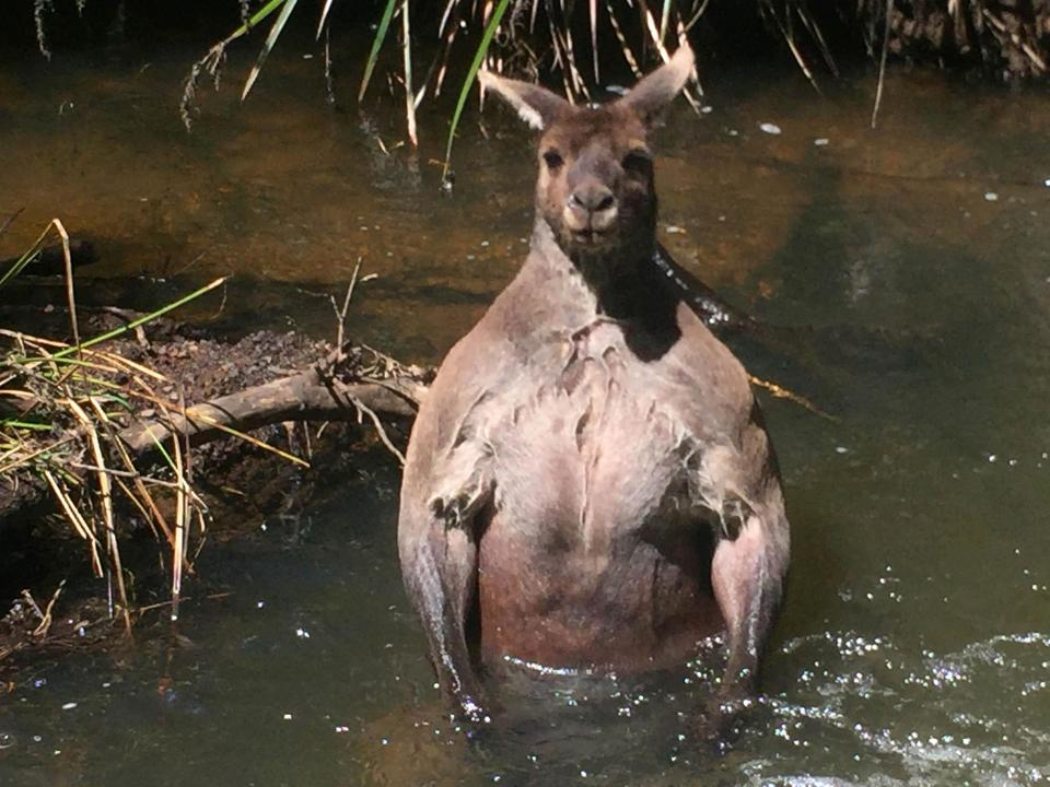Con chuột túi khổng lồ đột biến nổi cơ bắp cuồn cuộn như lực sĩ thể hình - Ảnh 1.