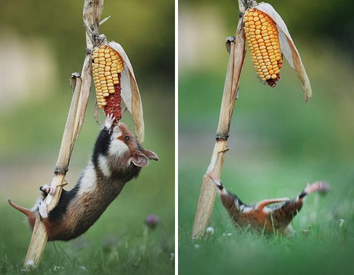 Cuộc sống hưởng thụ của 15 chú chuột hamster sống ở ngoài thế giới tự nhiên - Ảnh 15.