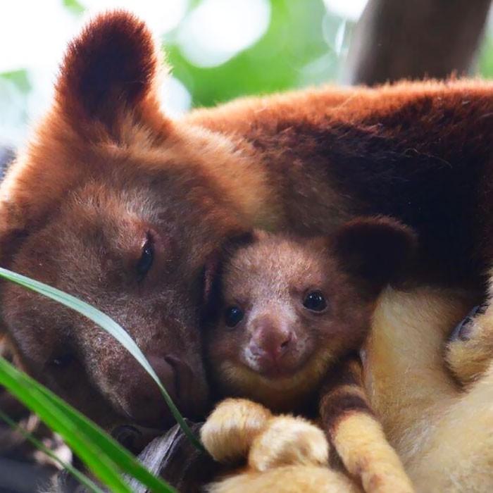 Hóa ra Úc còn có loài chuột túi ôm cây đáng yêu dã man - Ảnh 3.