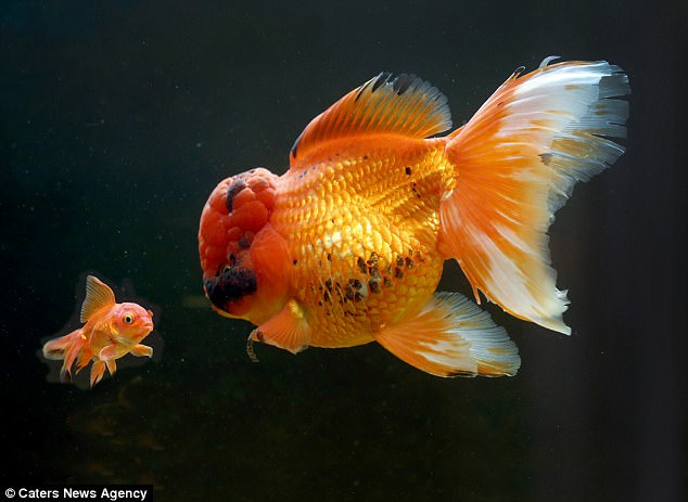 Tìm thấy siêu cá vàng khổng lồ có cân nặng lên tới 1,2kg - Ảnh 4.