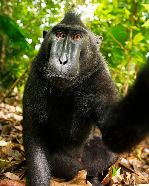 Nhiếp ảnh gia bị kiện đến phá sản vì bức hình Chú khỉ selfie và lý do không ai ngờ tới - Ảnh 2.
