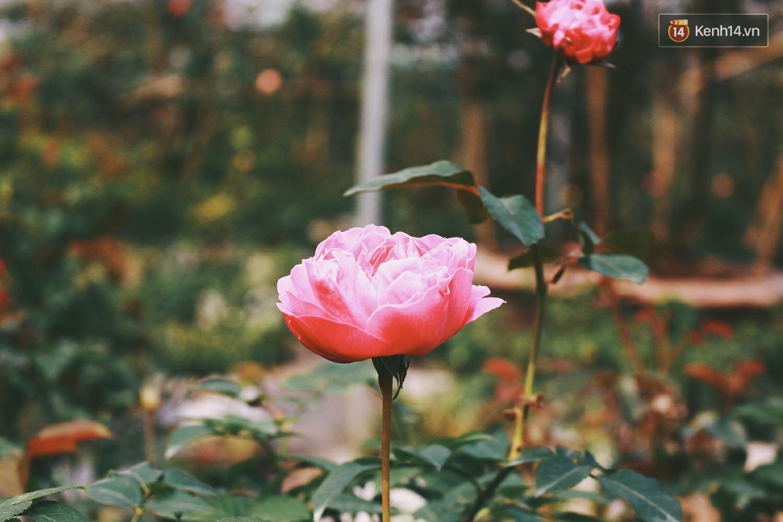 Cô gái trẻ sở hữu khu vườn 5.000m2 với hàng nghìn hoa hồng quý hiếm, đắt đỏ tại Hà Nội - Ảnh 4.