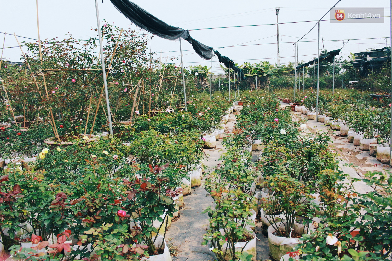 Cô gái trẻ sở hữu khu vườn 5.000m2 với hàng nghìn hoa hồng quý hiếm, đắt đỏ tại Hà Nội - Ảnh 3.