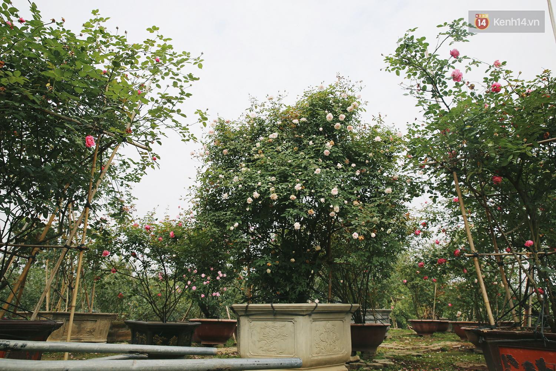 Cô gái trẻ sở hữu khu vườn 5.000m2 với hàng nghìn hoa hồng quý hiếm, đắt đỏ tại Hà Nội - Ảnh 8.